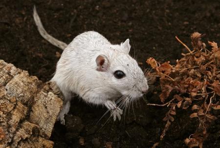 sennik Biała mysz - sennik