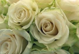 sennik Białe róże - sennik
