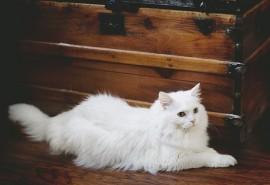 sennik Biały kot - sennik