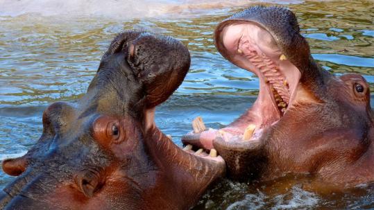 sennik Hipopotam - sennik