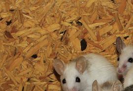 sennik Myszy atakujące - Sennik
