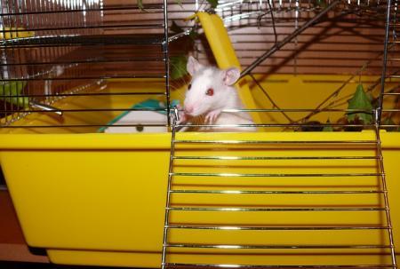 sennik Szczury w mieszkaniu - Sennik
